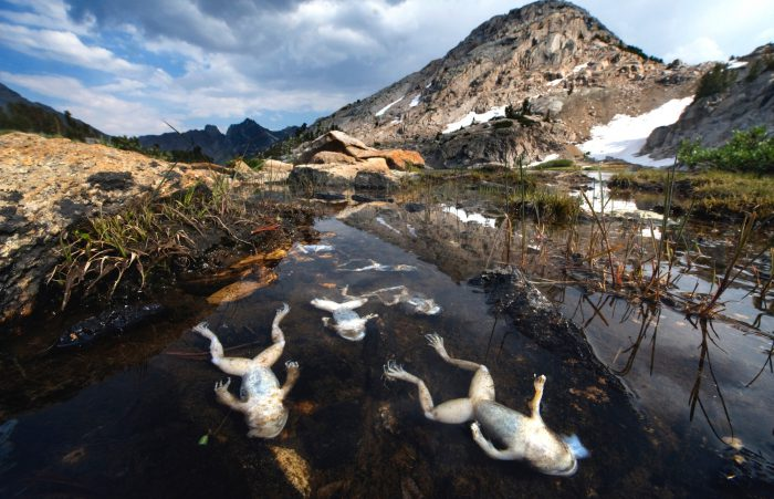 """In King's Canyon National Park, California, chytrid fungus has swept through with a vengeance. Shown are some of the last southern moutain yellow-legged frogs (Rana muscosa) as they lay dead from the fungus. The disease first appeared in this High Sierra basin in 2004, and has virtually wiped out the last stronghold metapopulations of this species. Where once tens of thousands lived, now fewer than 100 remain. """"Worldwide, this is the worst case of a disease causing extinctions in recorded history, and we're seeing the results of it right here,"""" said Vance Vredenburg, an amphibian ecologist who has studied the basin for 13 years."""