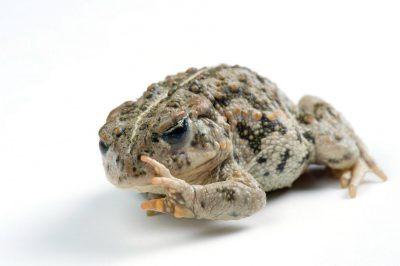 Amargosa toad (Anaxyrus (Bufo) nelsoni) near Beatty, NV. (IUCN: Endangered)
