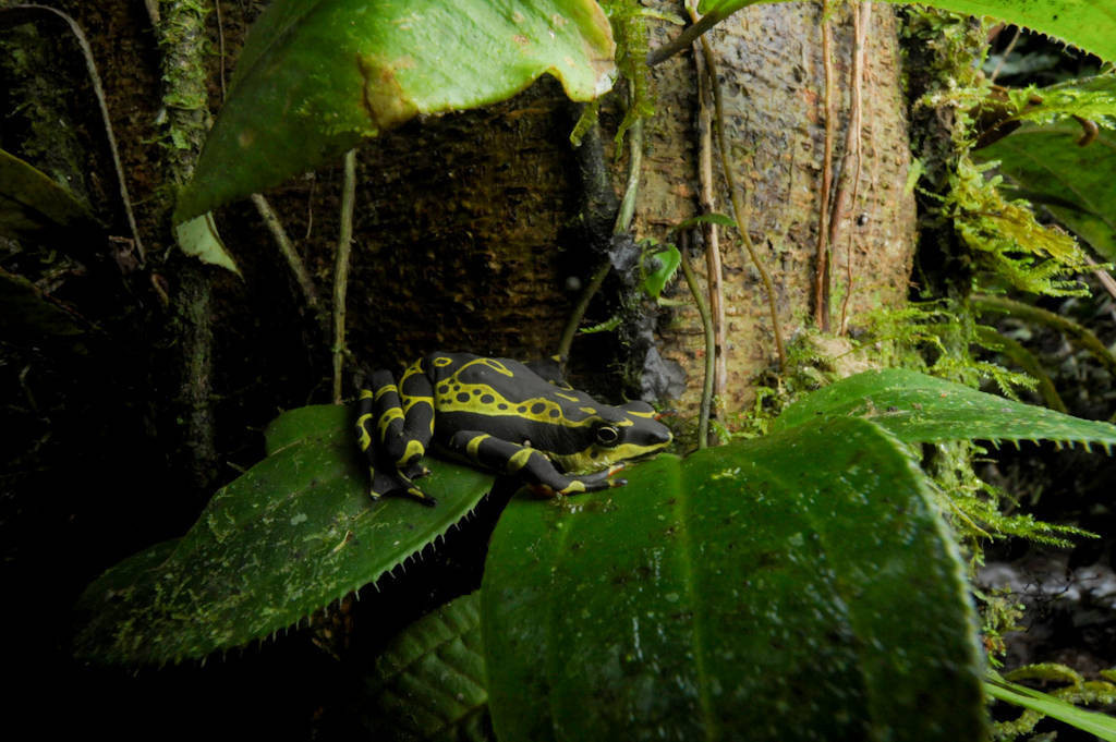 A rare Atelopus frog near Limon, Ecuador. The genus -- one of the most threatened in Central and South America -- has been wiped out in most other places, and this patch of habitat is threatened by road expansion.