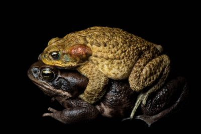 A live marine toad or cane toad (Rhinella marina) in amplexus with a female, dead from chytrid fungus, near Limon, Ecuador. The male died a few days later of the same disease.
