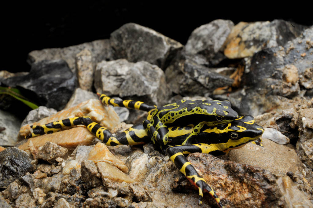 A live male harlequin frog (Atelopus sp.) in amplexus with a female, dead from chytrid fungus, near Limon, Ecuador. The male died a few days later of the same disease. This species is critically endangered and headed toward extinction due to habitat loss and disease, including chytrid fungus.