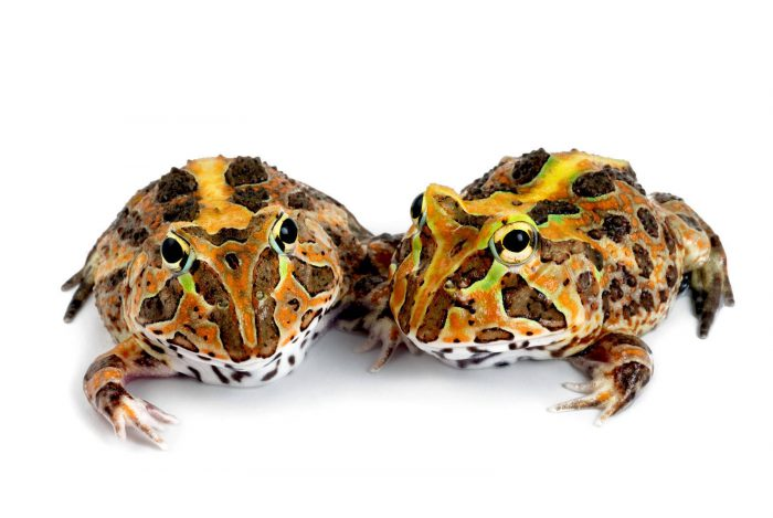 Ceratophrys stolzmanni, the Pacific horned frog, an endemic burrowing species at the captive breeding facility in Quito, Ecuador. (IUCN: Vulnerable)