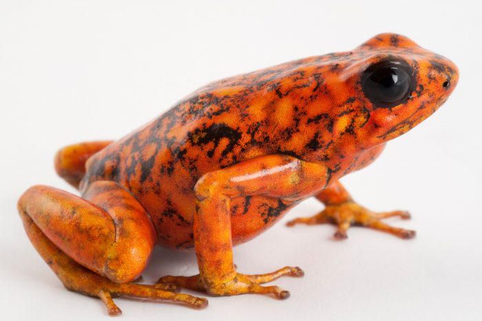 "Picture of a Oophaga sylvatica, the ""little devil poison frog"" at a captive breeding facility at Pontificia Universidad Catolica in Quito, Ecuador."