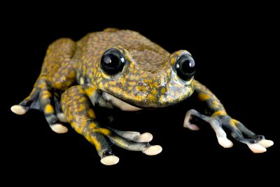 Portraits of Hyloscirtus pantostictus at a captive breeding at Pontificia Universidad Catòlica in Quito, Ecuador. This is an endangered frog. This is the only one in captivity and it could be extinct in the wild. (IUCN: EN)