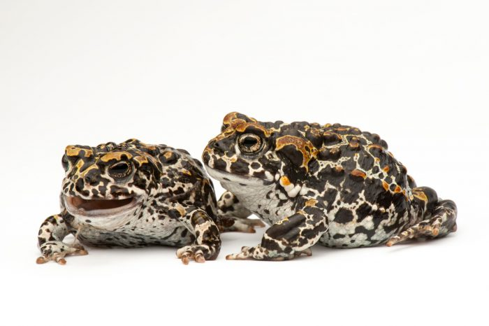 A pair of juvenile Yosemite toads (Bufo or Anaxyrus canorus) at the Museum of Vertebrate Zoology at U.C. Berkeley. (IUCN: EN)