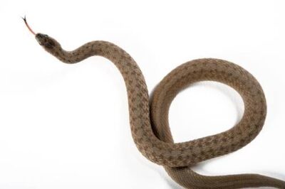 A Dekay's brownsnake (Storeria dekayi texana) collected from Nebraska.