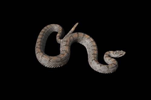 A cross-banded mountain rattlesnake (Crotalus transversus) at the San Antonio Zoo, San Antonio, Texas.
