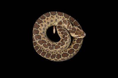 A Central Plateau dusky rattlesnake (Crotalus triseriatus triseriatus) at the San Antonio Zoo, San Antonio, Texas.