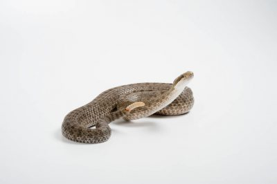An eastern twin-spotted rattlesnake (Crotalus pricei miquihuanus) at the San Antonio Zoo, San Antonio, Texas.