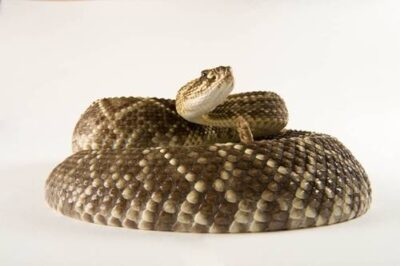 A Venezuelan or Colombian rattlesnake (Crotalus durissus cumanensis) at the Buffalo Zoo, Buffalo, New York.