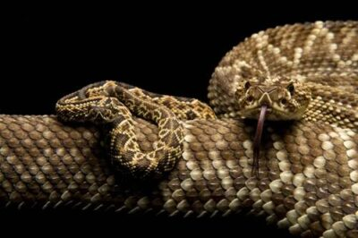 A Venezuelan or Colombian rattlesnake (Crotalus durissus cumanensis) with juvenile of same species at the Buffalo Zoo, Buffalo, New York.