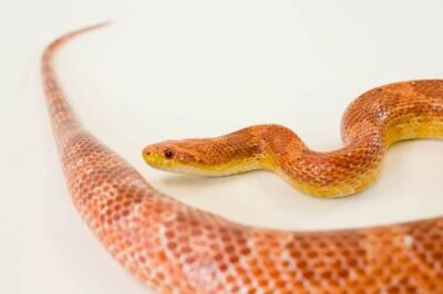 Photo: A corn snake (Elaphe gutatta) at the Lincoln Children's Zoo, Lincoln, Nebraska.
