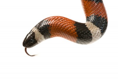 A Pueblan milk snake (Lampropeltis triangulum campbelli) at the Denver zoo.