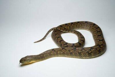 A diamondback water snake (Nerodia rhombifer blanchardi) at the Chapultepec Zoo, Mexico City, Mexico.