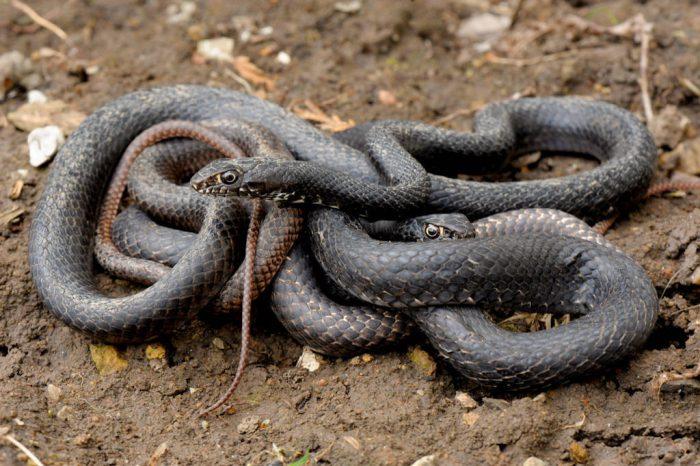 A pair of eastern coachwhip snakes (Masticophis flagellum flagellum).