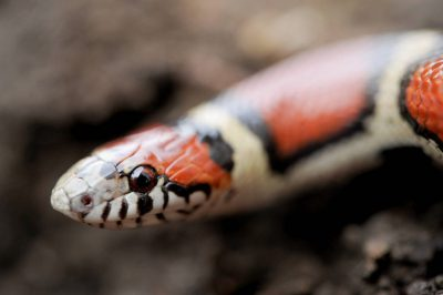 Photo: A red milk snake (Lampropeltis triangulum syspila).