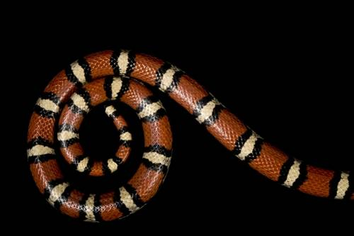 A red milk snake (Lampropeltis triangulum syspila) from a private collection.