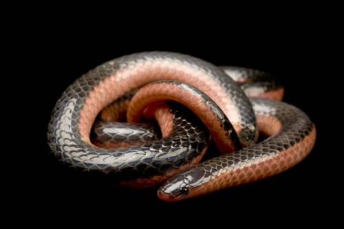 Photo: A western worm snake (Carphophis vermis) from a private collection.