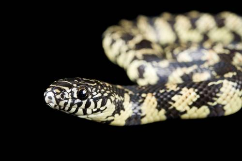 A Florida kingsnake (Lampropeltis brooksi) from a private collection