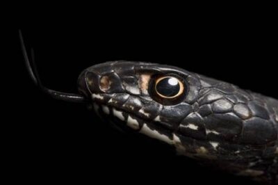 An eastern coachwhip (Masticophis flagellum flagellum) from a private collection.