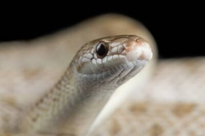 A western Mojave glossy snake (Arizona elegans candida) from a private collection.