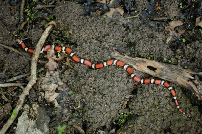 A milk snake (Lampropeltis triangulum) at the Bayou De View in the Cache River National Wildlife Refuge, Arkansas.