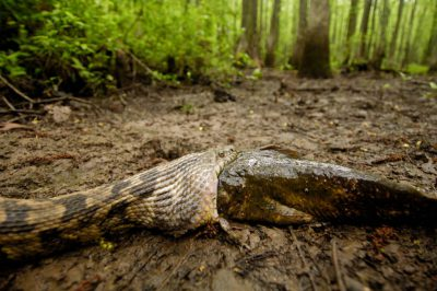 A diamondback water snake (Nerodia rhombifer rhombifer) tries to swallow a catfish at Bayou De View in the Cache River National Wildlife Refuge, Arkansas.
