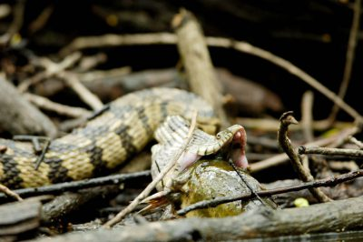 A diamondback water snake (Nerodia rhombifer rhombifer) tries to swallow a catfish at Bayou De View in the Cache River National Wildlife Refuge, Arkansas.
