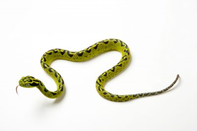 An ornate palm pit viper (Bothriechis aurifer) at the San Antonio Zoo, San Antonio, Texas. (IUCN: Vulnerable)