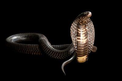 A black Pakistan cobra (Naja naja) from a private collection.