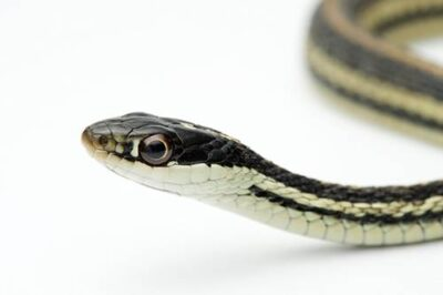 A western ribbon snake (Thamnophis proximus proximus) from the Shawnee National Forest.