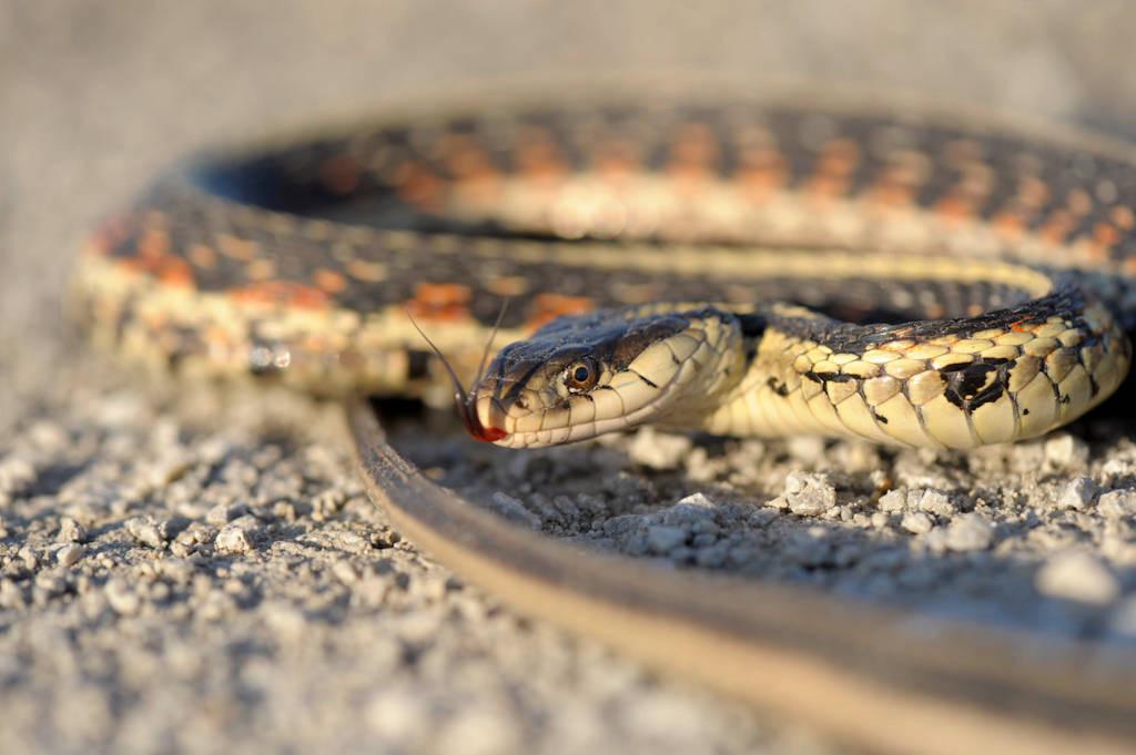 Photo: A garter snake (Thamnophis sp.) near the Steamboat Trace trail between Nebraska City and Peru, Nebraska.