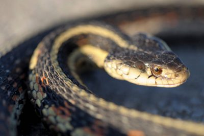Photo: A garter snake (Thamnophis sp.) near the Steamboat Trace trail between Nebraska City and Peru, Nebraska.