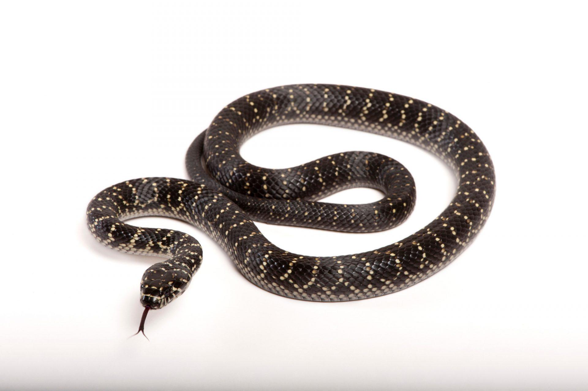 A vulnerable broad-headed snake (Hoplocephalus bungaroides) at the Healesville Sanctuary in Healesville, Victoria, Australia