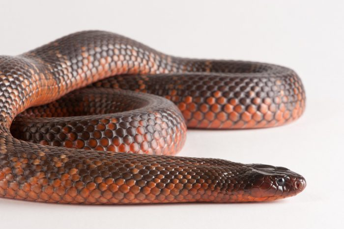 A Collett's snake (Pseudechis colletti) at the Omaha Zoo.