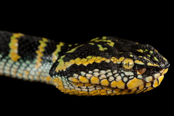 Wagler's temple viper (Trimeresurus wagleri) at the Fort Worth Zoo.