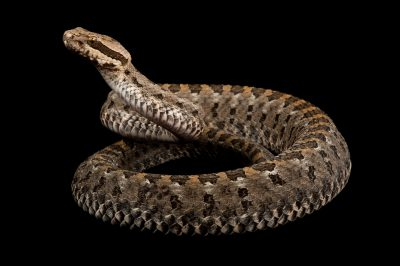 Armstrong's Dusky Rattlesnake (Crotalus armstrongi) at the Houston Zoo.