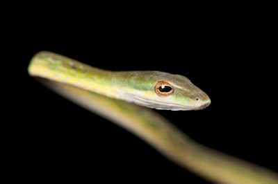 Picture of a Burmese vine snake (Ahaetulla fronticincta) at the Woodland Park Zoo.