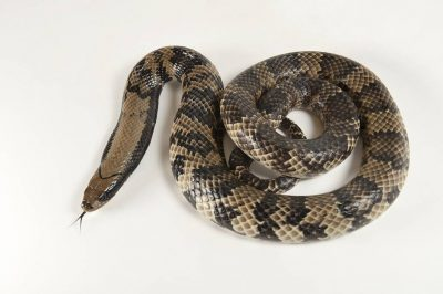 Picture of a false water cobra or Brazilian smooth snake (Hydrodynastes gigas) at the Woodland Park Zoo.