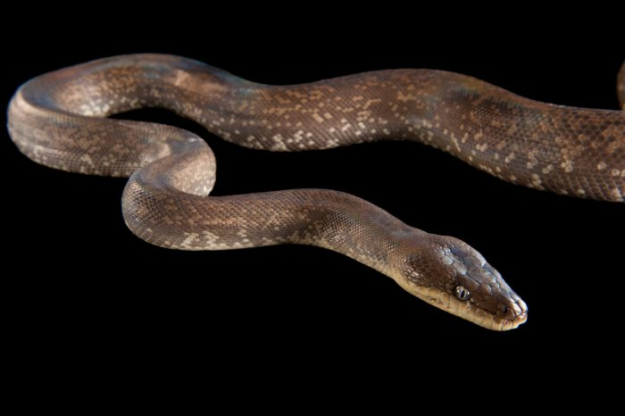 Picture of a Macklot's python (Liasis mackloti) at the Columbus Zoo.