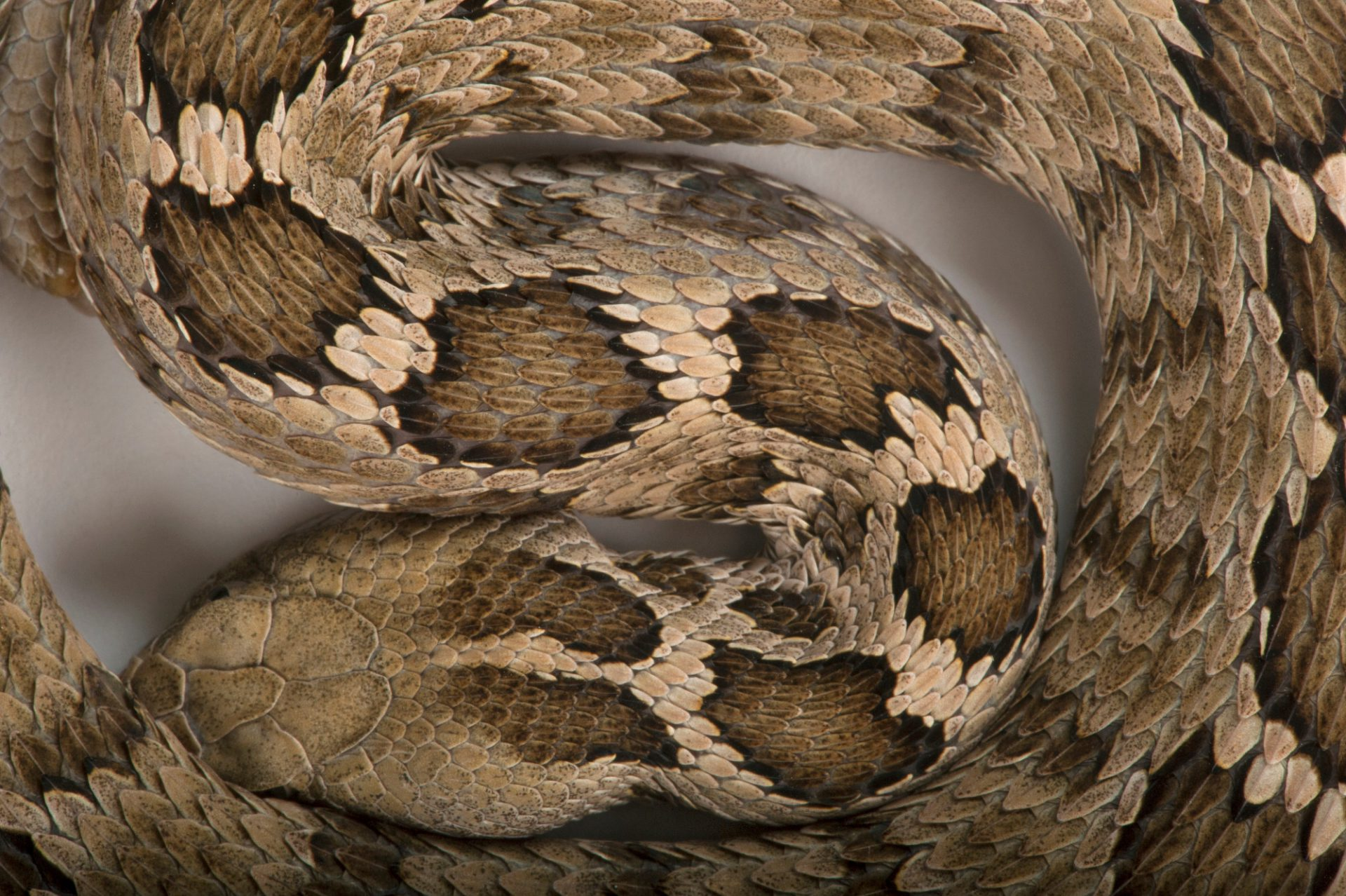 A Mexican pygmy rattlesnake (Sistrurus ravus) at the Houston Zoo.