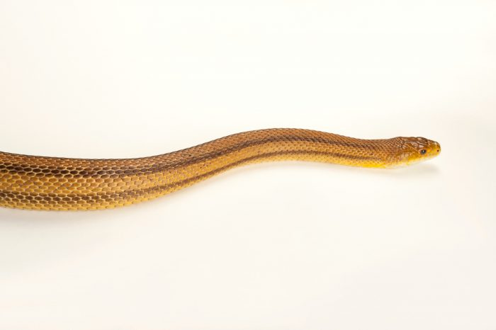 Yellow ratsnake (Elaphe obsoleta quadrivittata) at the Omaha Zoo