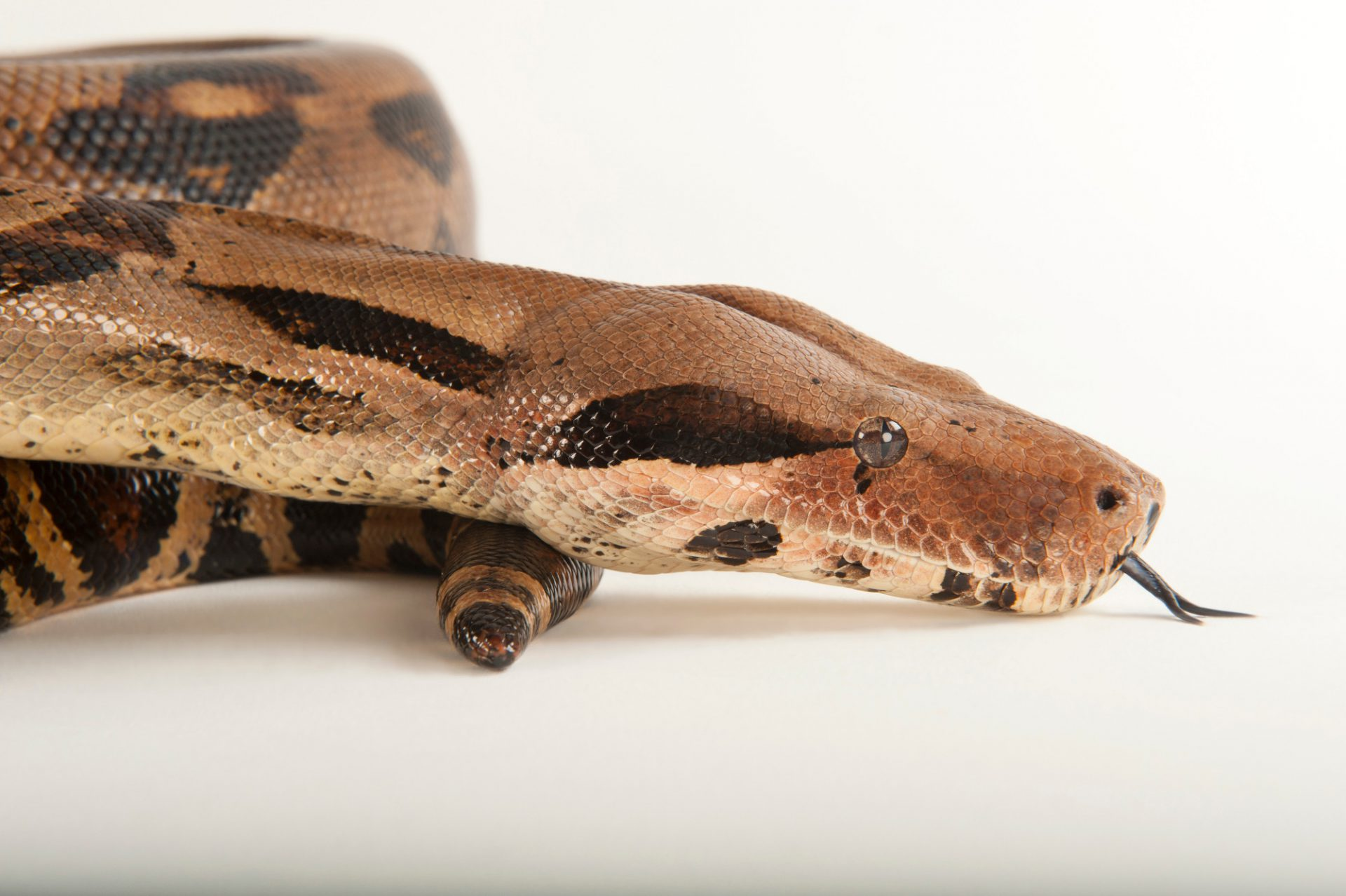 A Columbian boa constrictor (Boa constrictor imperator) at the Fort Worth Zoo.