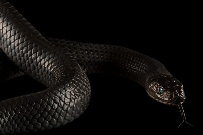 A Texas indigo snake (Drymarchon corais erebennus) that is shedding it's skin, at the Fort Worth Zoo.