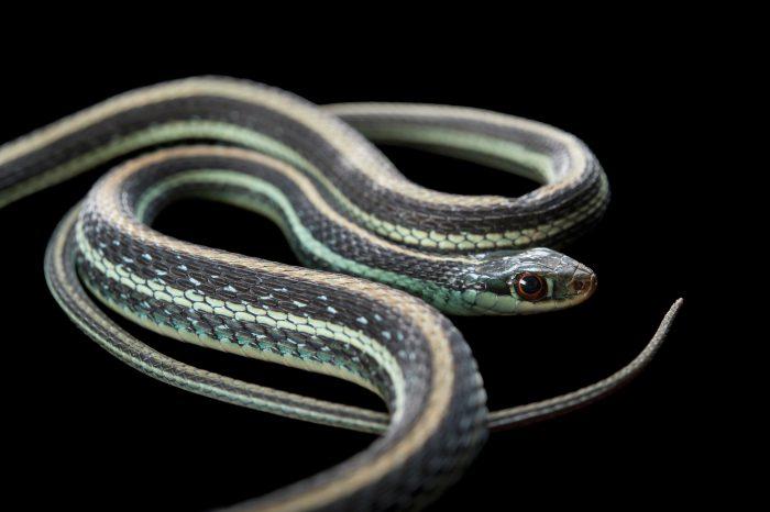 Photo: Gulf Coast ribbon snake (Thamnophis proximus orarius) at the Omaha Zoo.