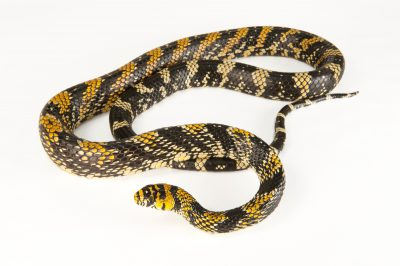 Mexican tiger rat snake (Spilotes pullatus mexicanus) at the Omaha Zoo.