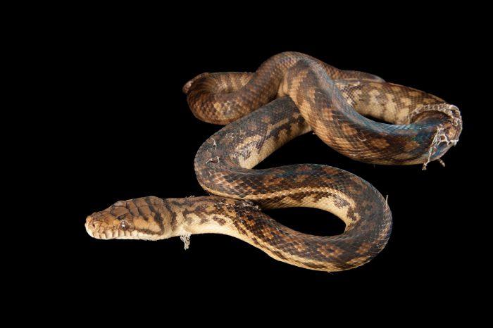 An Amethystine scrub python (Morelia amethistina) sheds his skin at the Omaha Zoo.
