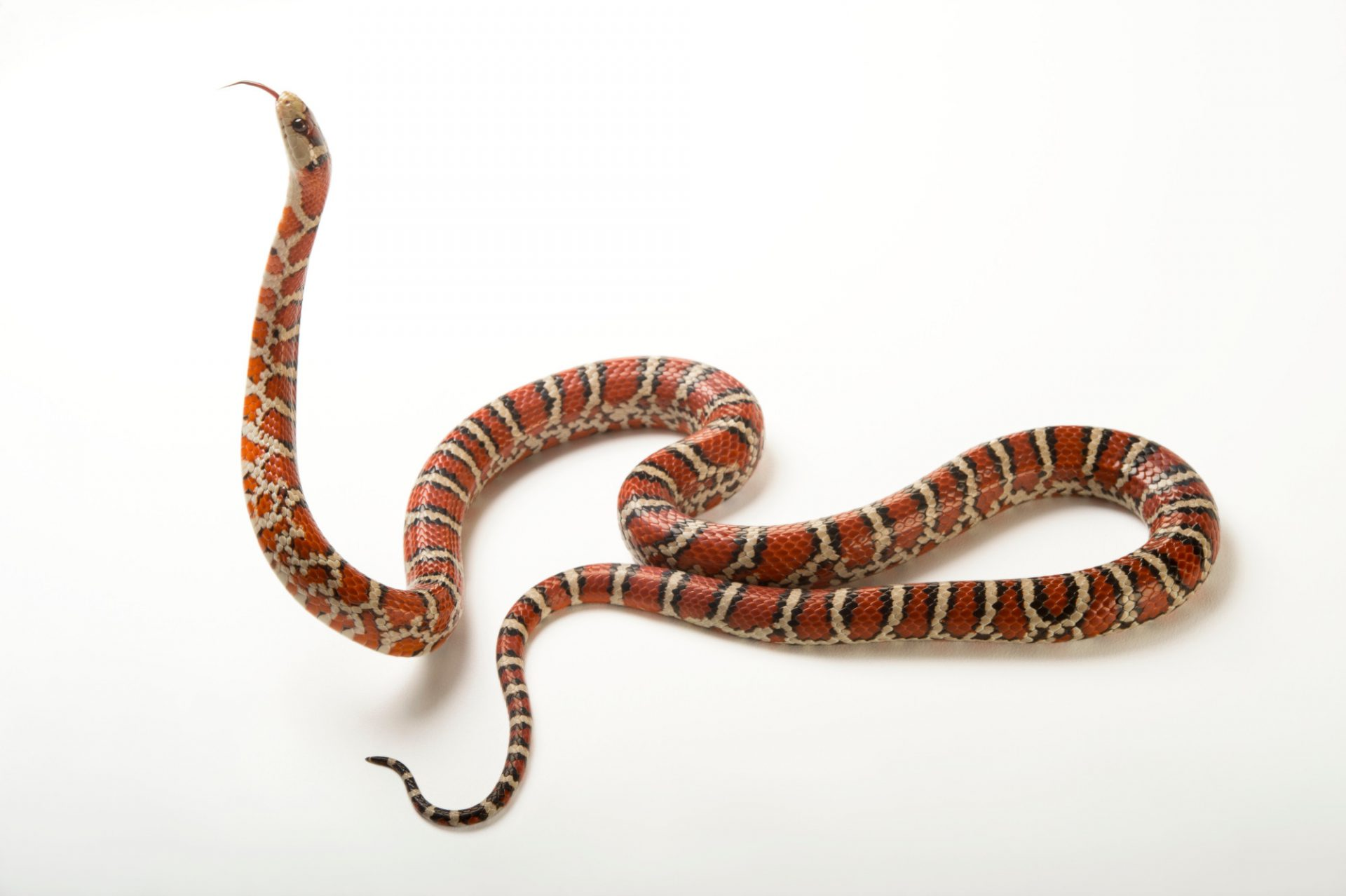 Picture of a Sonoran mountain kingsnake (Lampropeltis pyromelana knoblochi) at the Caldwell Zoo in Tyler, Texas.