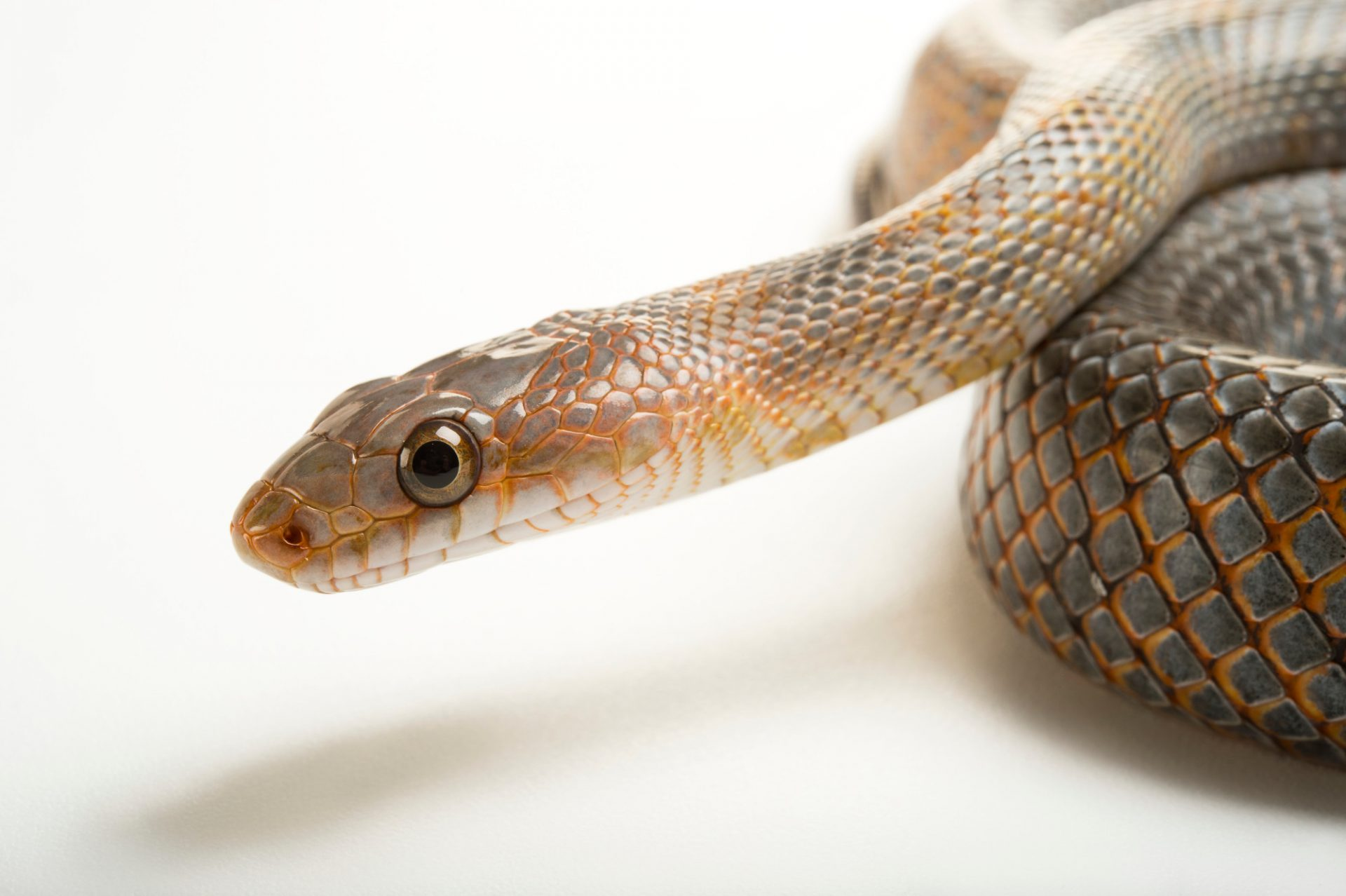 Picture of a Baird's patchnose snake (Salvadora bairdi) at the Caldwell Zoo in Tyler, Texas.