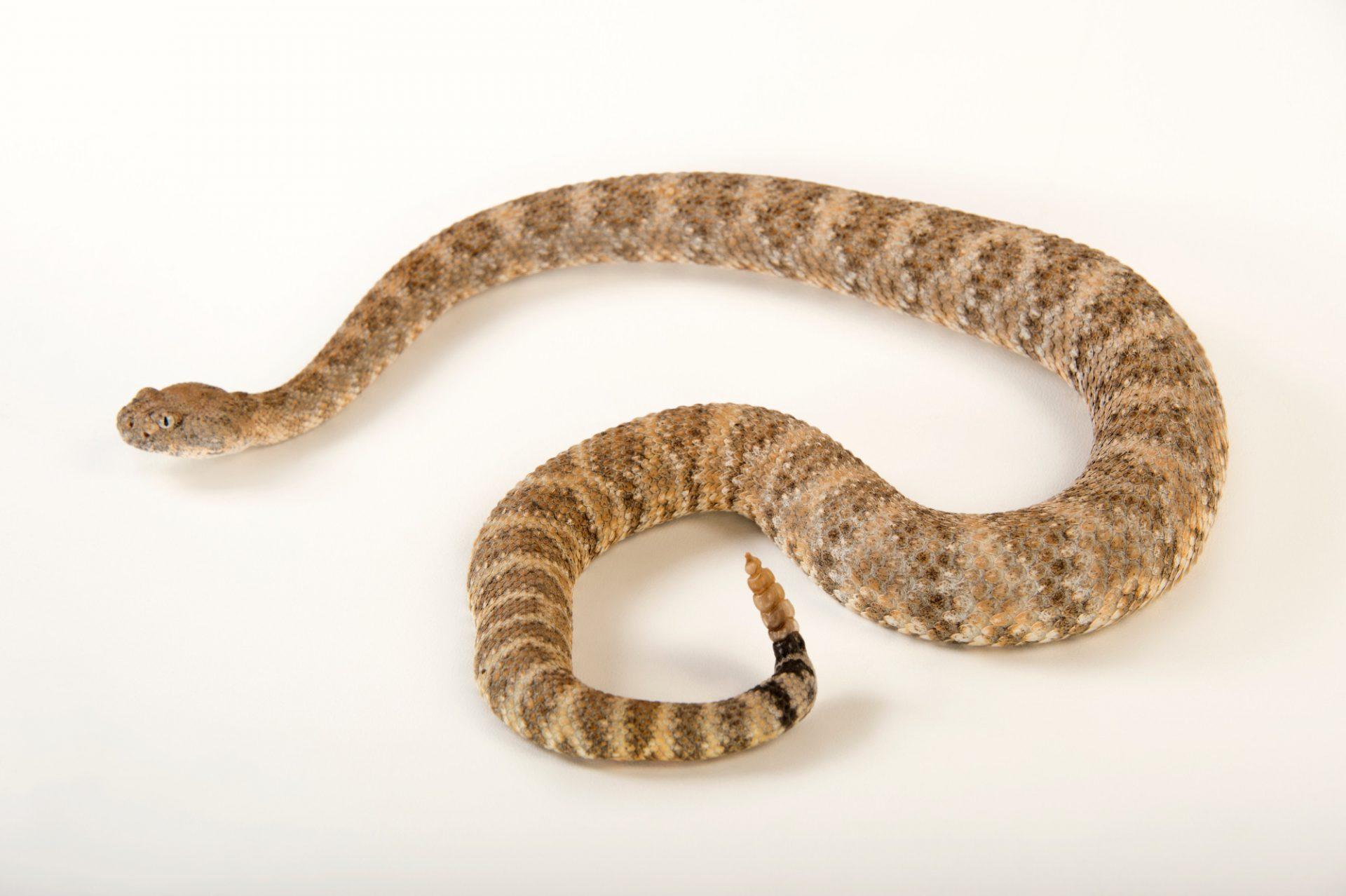 A panamint rattlesnake (Crotalus mitchellii stephensi) at The Living Desert in Palm Desert, California.